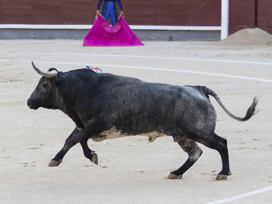 Desafío gris y un gran toro de Rehuelga