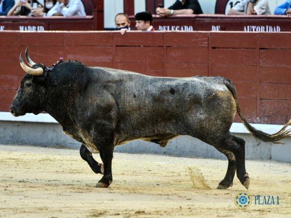 Vuelta de los toros a Las Ventas